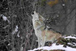 Per il lupo, sempre